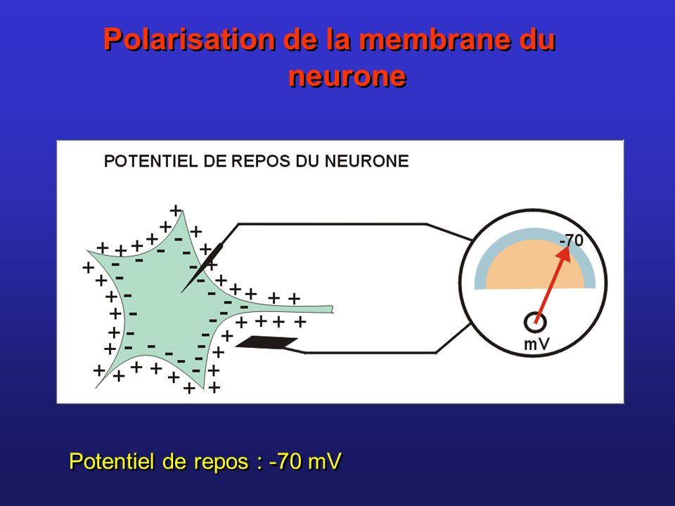 Polarisation de la membrane du neurone