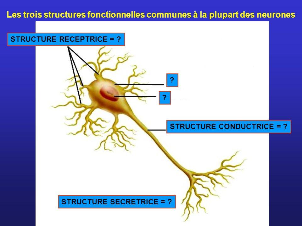 Les trois structures fonctionnelles communes à la plupart des neurones