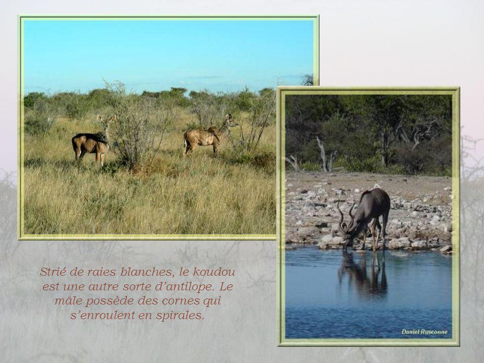 Strié de raies blanches, le koudou est une autre sorte d'antilope