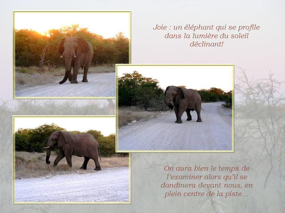 Joie : un éléphant qui se profile dans la lumière du soleil déclinant!