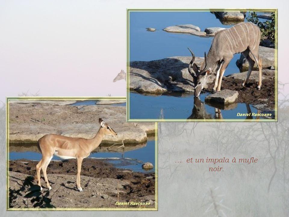 … et un impala à mufle noir.