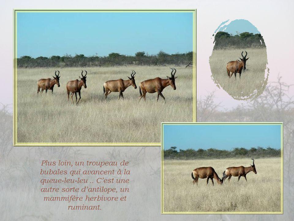 Plus loin, un troupeau de bubales qui avancent à la queue-leu-leu