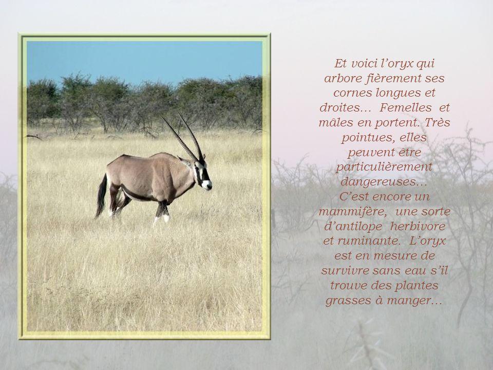 Et voici l'oryx qui arbore fièrement ses cornes longues et droites… Femelles et mâles en portent. Très pointues, elles peuvent être particulièrement dangereuses…