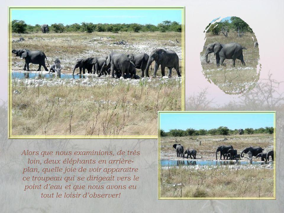 Alors que nous examinions, de très loin, deux éléphants en arrière-plan, quelle joie de voir apparaître ce troupeau qui se dirigeait vers le point d'eau et que nous avons eu tout le loisir d'observer!