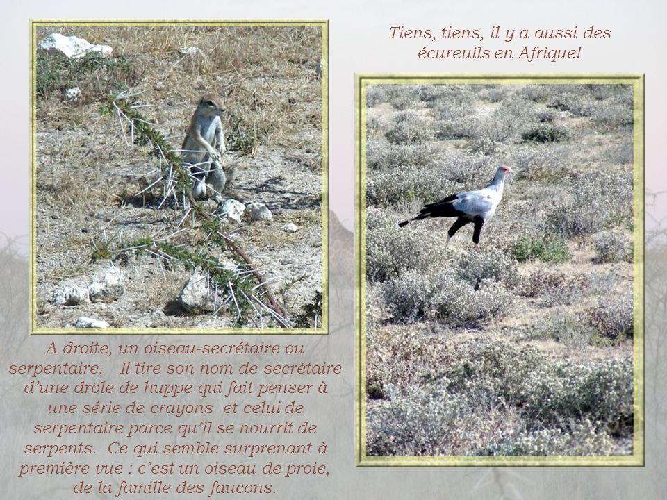 Tiens, tiens, il y a aussi des écureuils en Afrique!