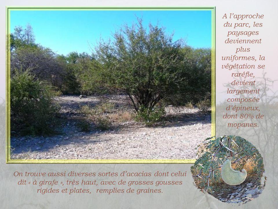 A l'approche du parc, les paysages deviennent plus uniformes, la végétation se raréfie, devient largement composée d'épineux, dont 80% de mopanes.