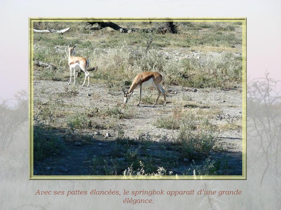Avec ses pattes élancées, le springbok apparaît d'une grande élégance.