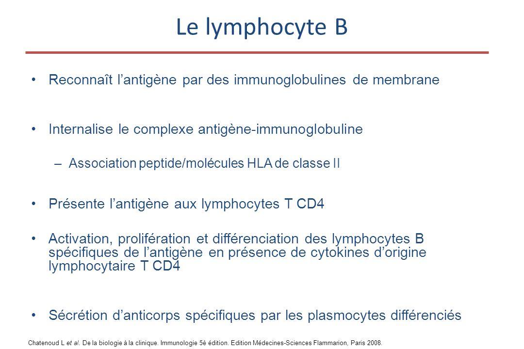 Le lymphocyte B Reconnaît l'antigène par des immunoglobulines de membrane. Internalise le complexe antigène-immunoglobuline.