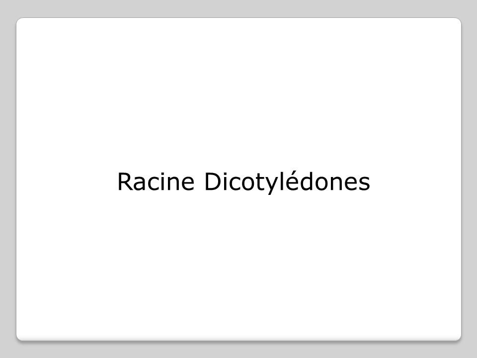 Racine Dicotylédones