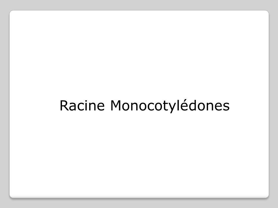 Racine Monocotylédones