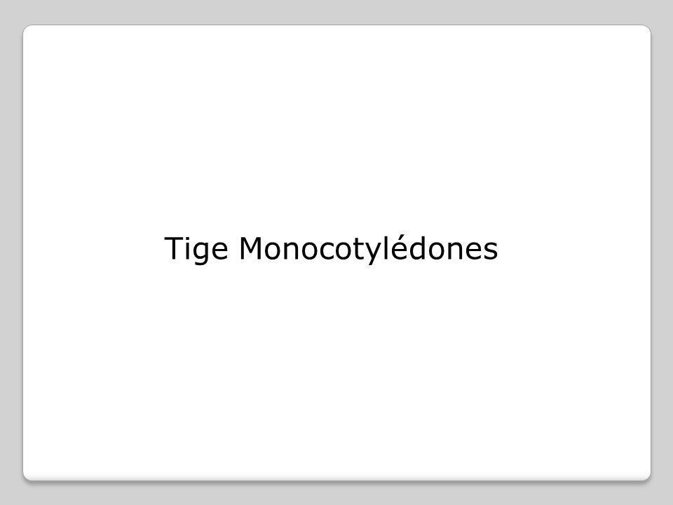 Tige Monocotylédones