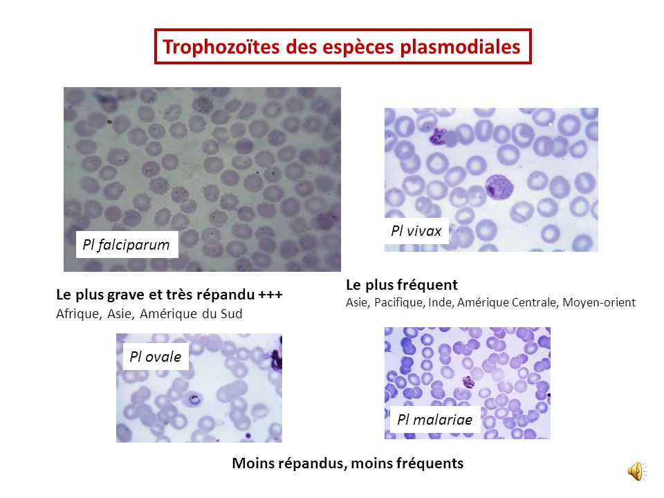 Trophozoïtes des espèces plasmodiales