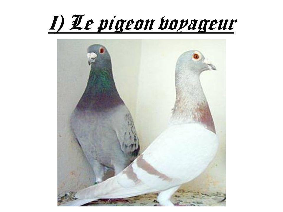 I) Le pigeon voyageur