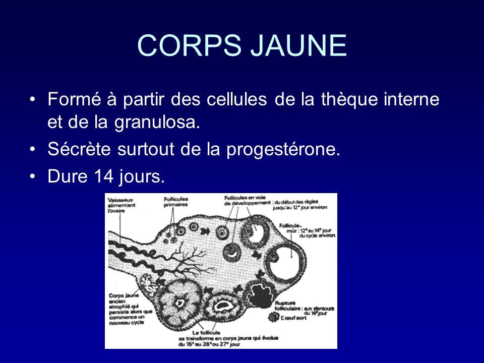 CORPS JAUNE Formé à partir des cellules de la thèque interne et de la granulosa. Sécrète surtout de la progestérone.