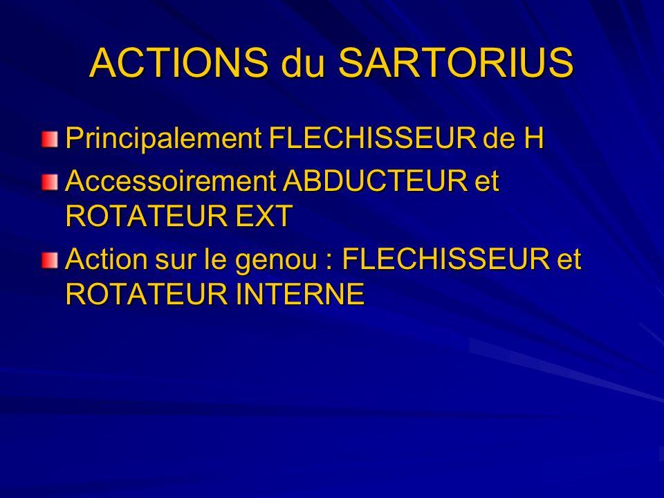 ACTIONS du SARTORIUS Principalement FLECHISSEUR de H