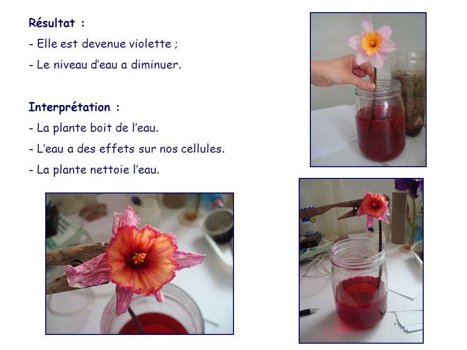 Résultat : - Elle est devenue violette ; - Le niveau d'eau a diminuer. Interprétation : - La plante boit de l'eau.