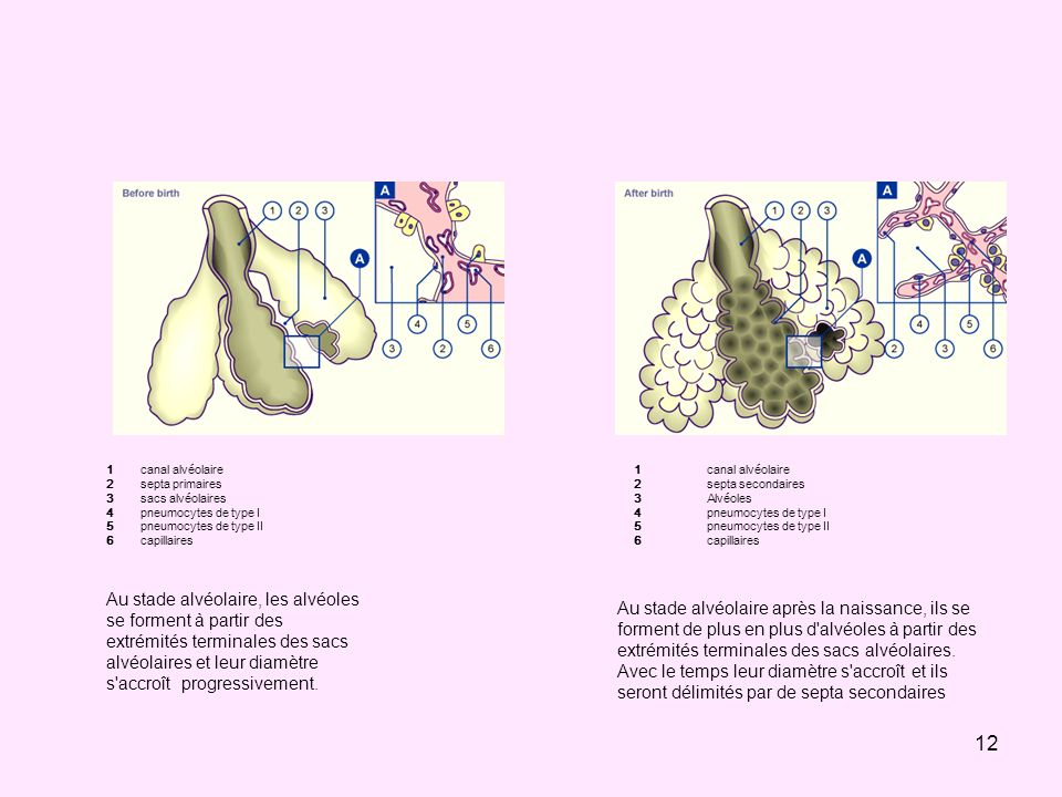 1 2. 3. 4. 5. 6. canal alvéolaire. septa primaires. sacs alvéolaires. pneumocytes de type I.