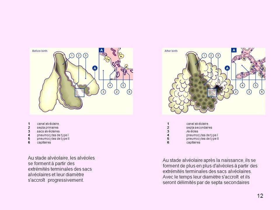 12. 3. 4. 5. 6. canal alvéolaire. septa primaires. sacs alvéolaires. pneumocytes de type I. pneumocytes de type II.