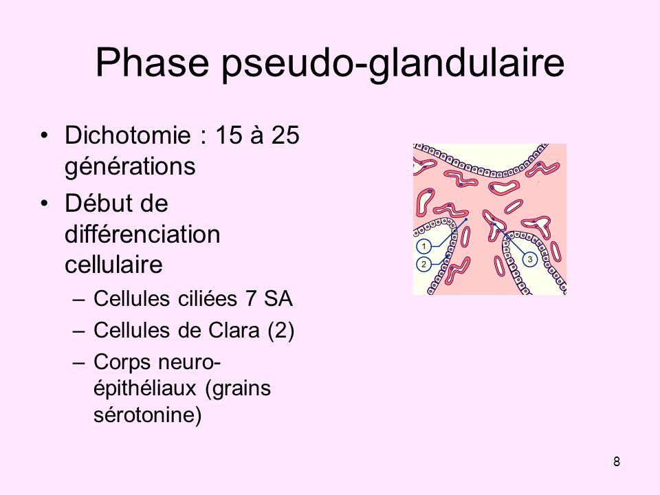 Phase pseudo-glandulaire