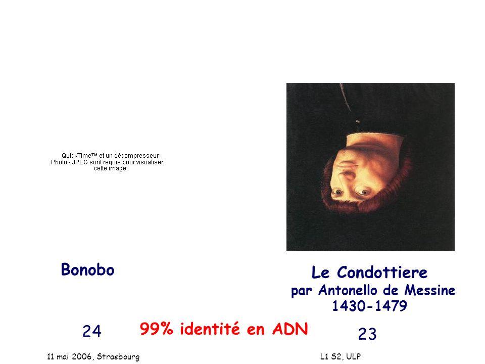 Bonobo Le Condottiere 99% identité en ADN 24 23
