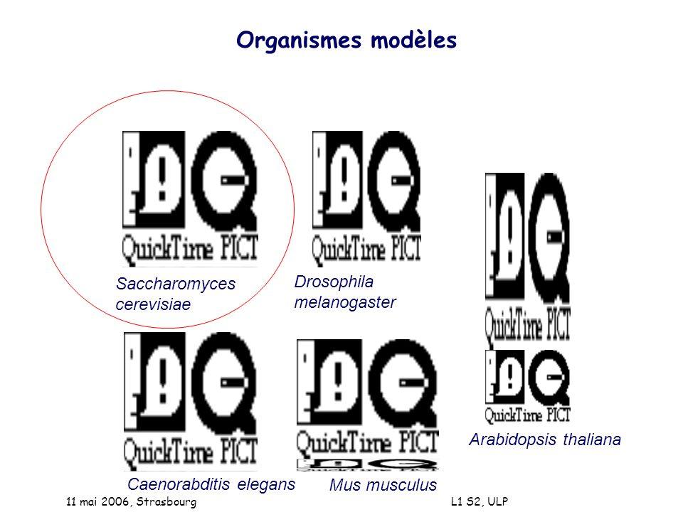 Organismes modèles Saccharomyces cerevisiae Caenorabditis elegans