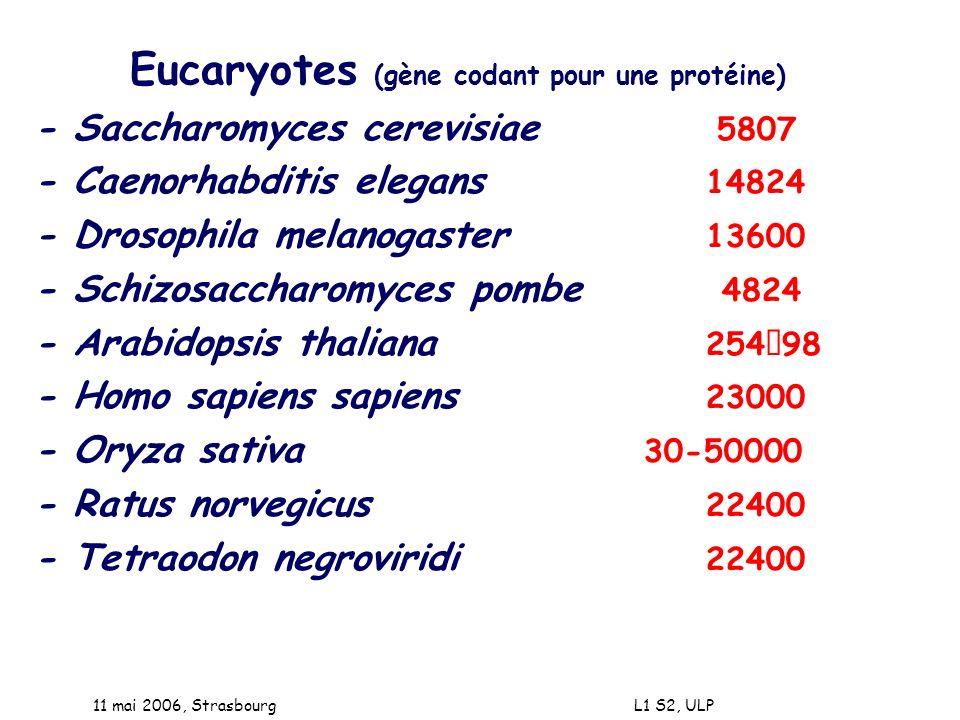 Eucaryotes (gène codant pour une protéine)