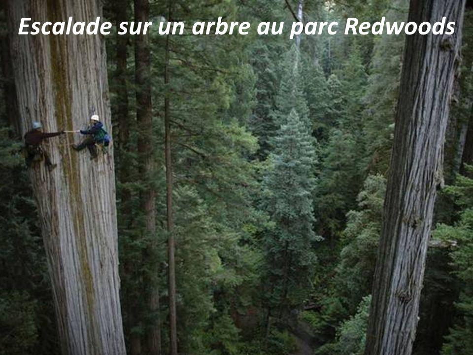 Escalade sur un arbre au parc Redwoods