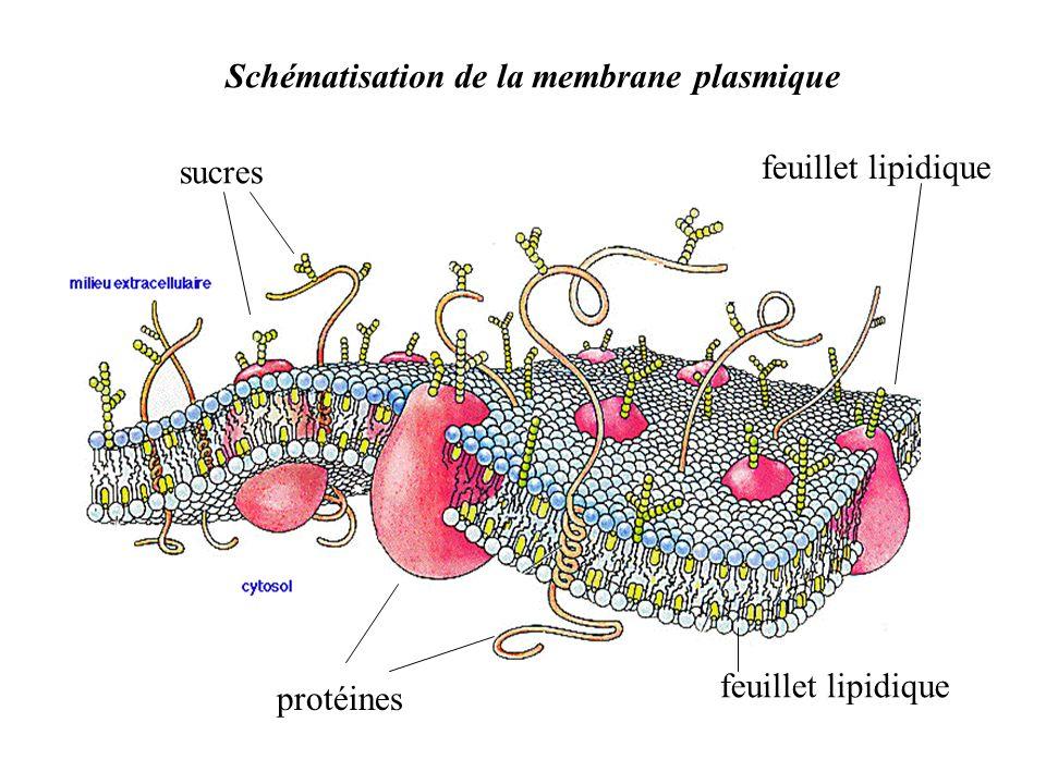 Schématisation de la membrane plasmique