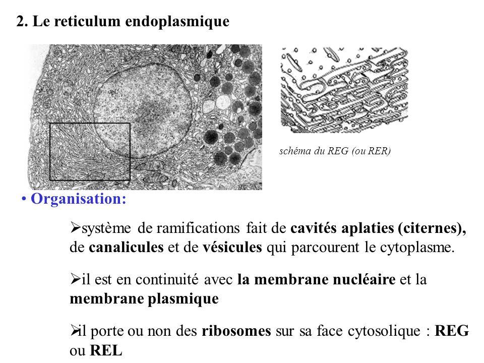 2. Le reticulum endoplasmique