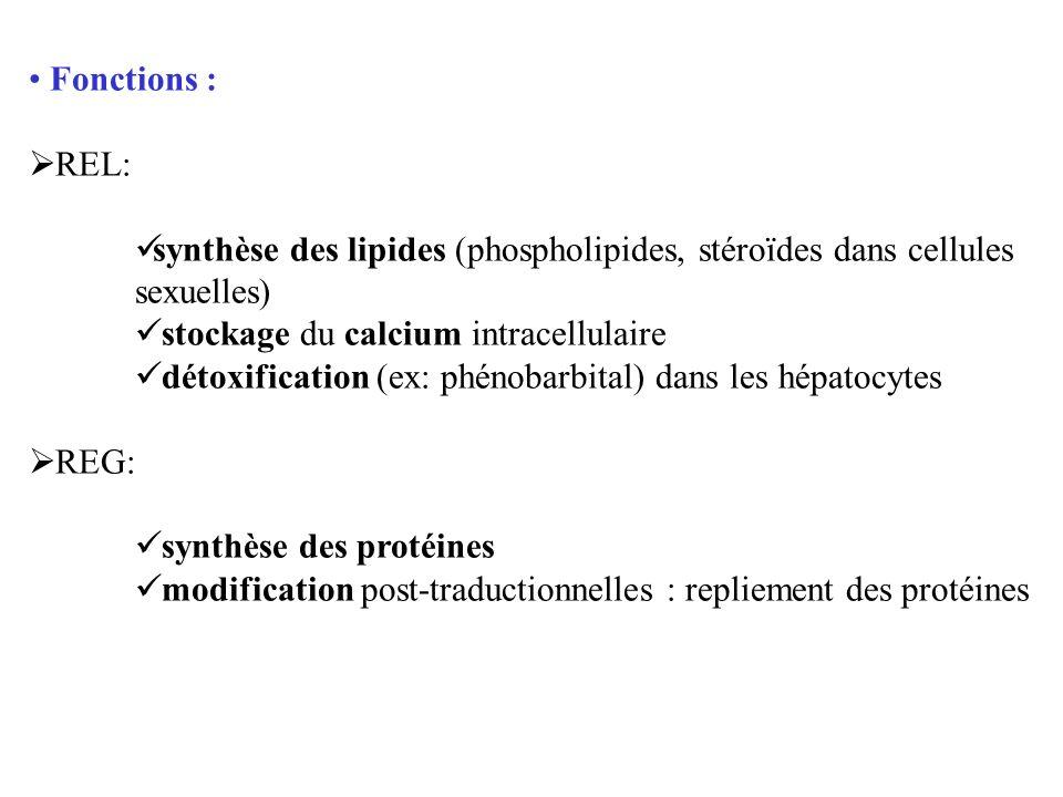 Fonctions : REL: synthèse des lipides (phospholipides, stéroïdes dans cellules sexuelles) stockage du calcium intracellulaire.
