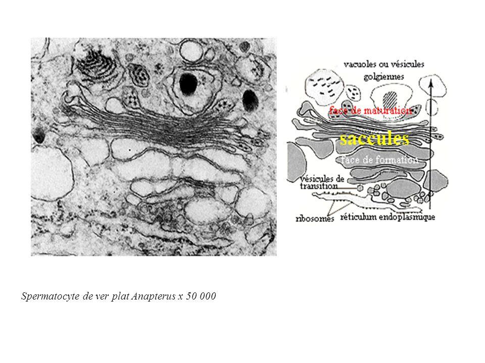 Spermatocyte de ver plat Anapterus x 50 000