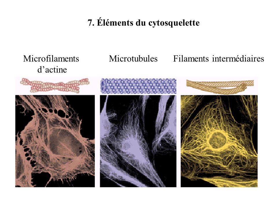 7. Éléments du cytosquelette
