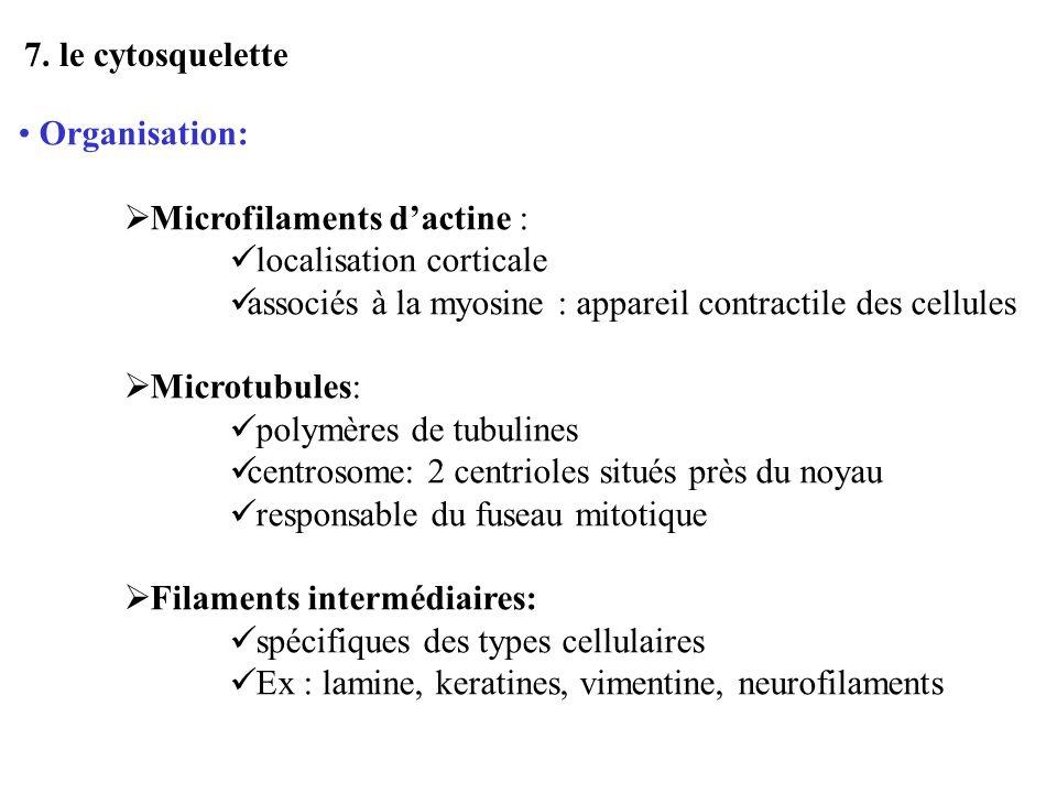 7. le cytosquelette Organisation: Microfilaments d'actine : localisation corticale. associés à la myosine : appareil contractile des cellules.