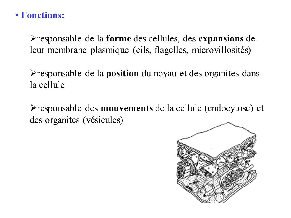 Fonctions: responsable de la forme des cellules, des expansions de leur membrane plasmique (cils, flagelles, microvillosités)