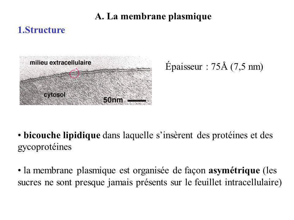 A. La membrane plasmique