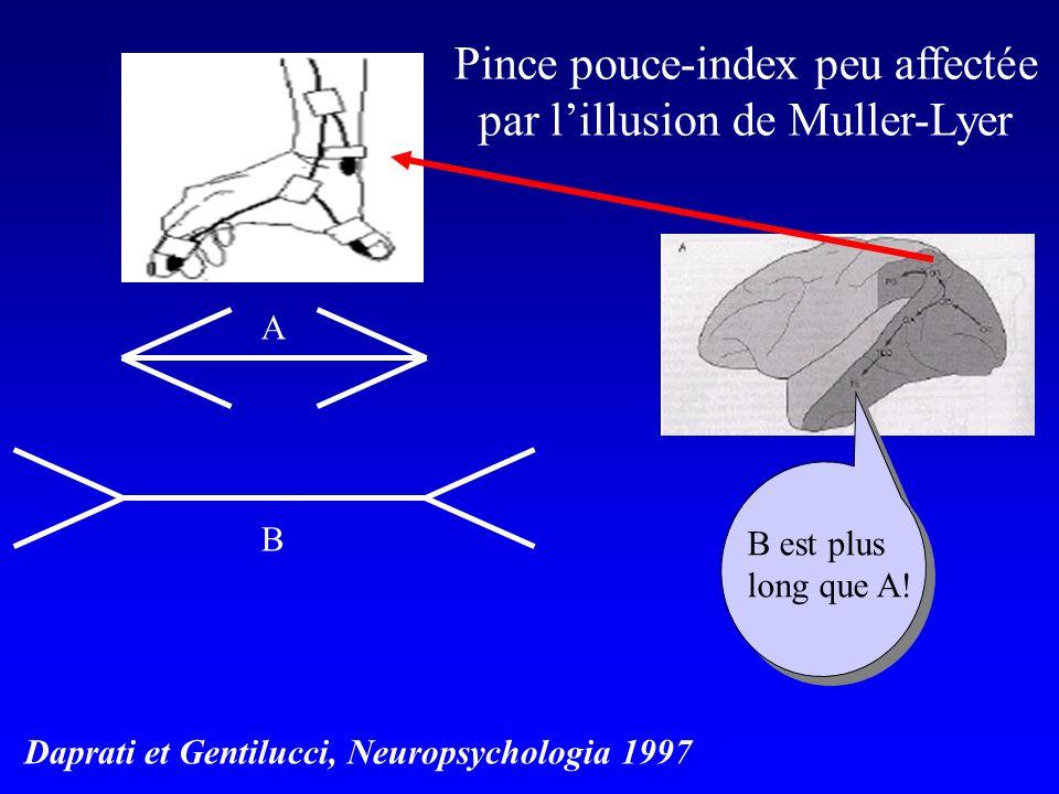 Pince pouce-index peu affectée par l'illusion de Muller-Lyer
