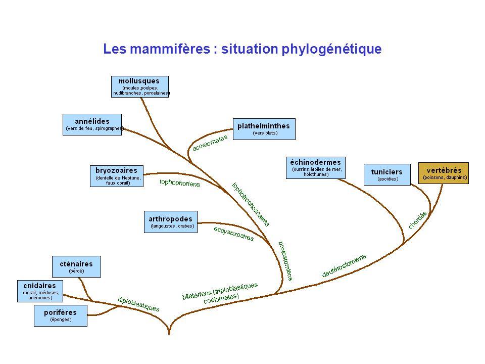 Les mammifères : situation phylogénétique