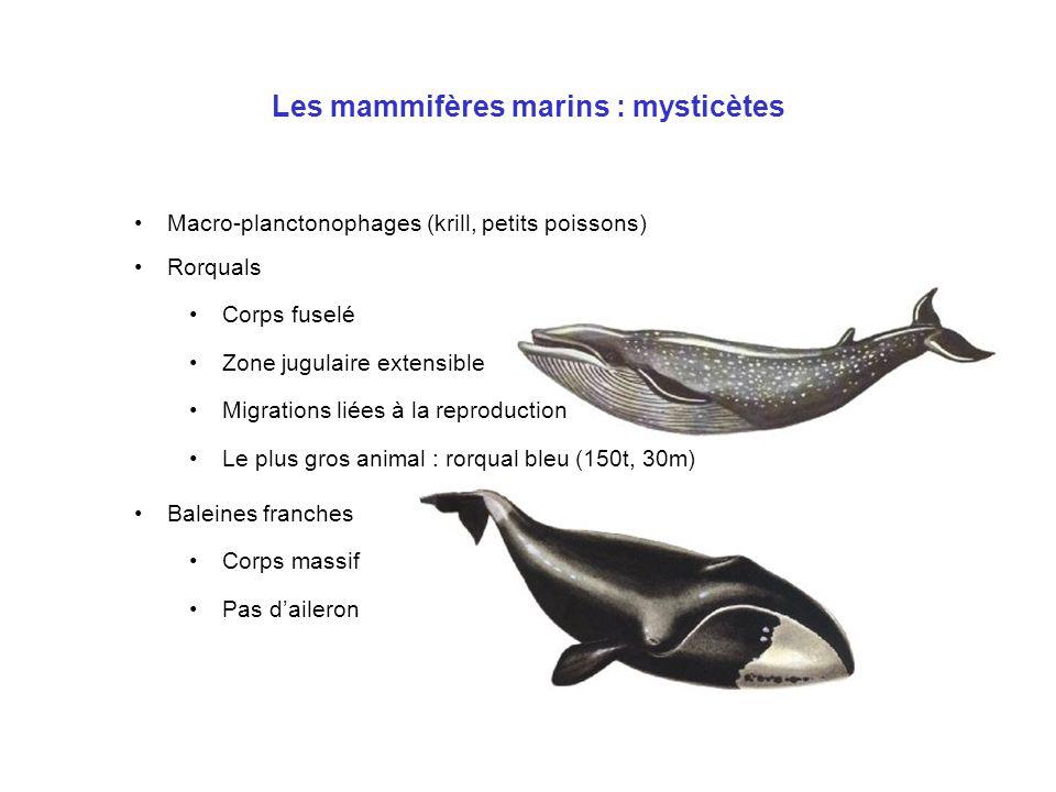 Les mammifères marins : mysticètes