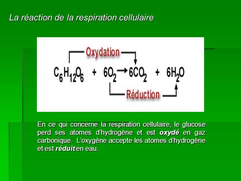La réaction de la respiration cellulaire