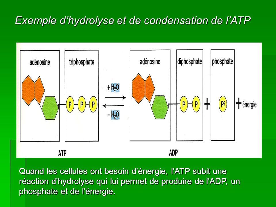 Exemple d'hydrolyse et de condensation de l'ATP