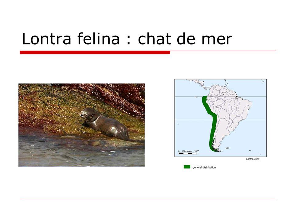 Lontra felina : chat de mer