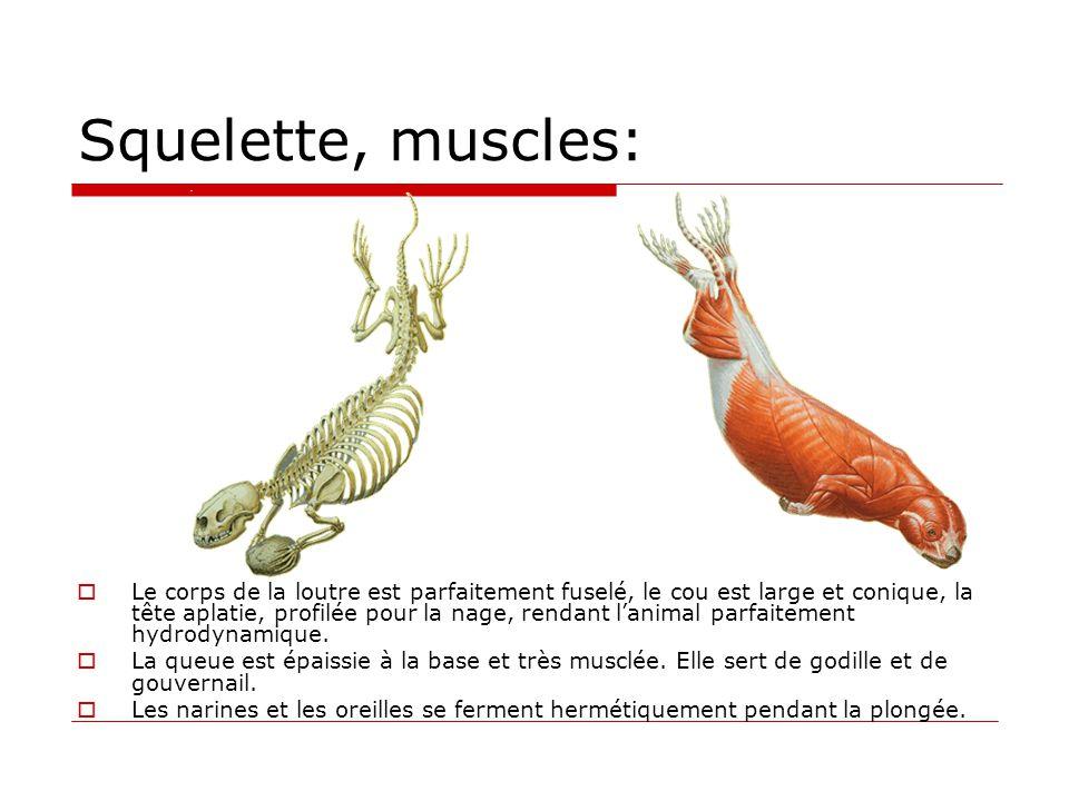 Squelette, muscles: