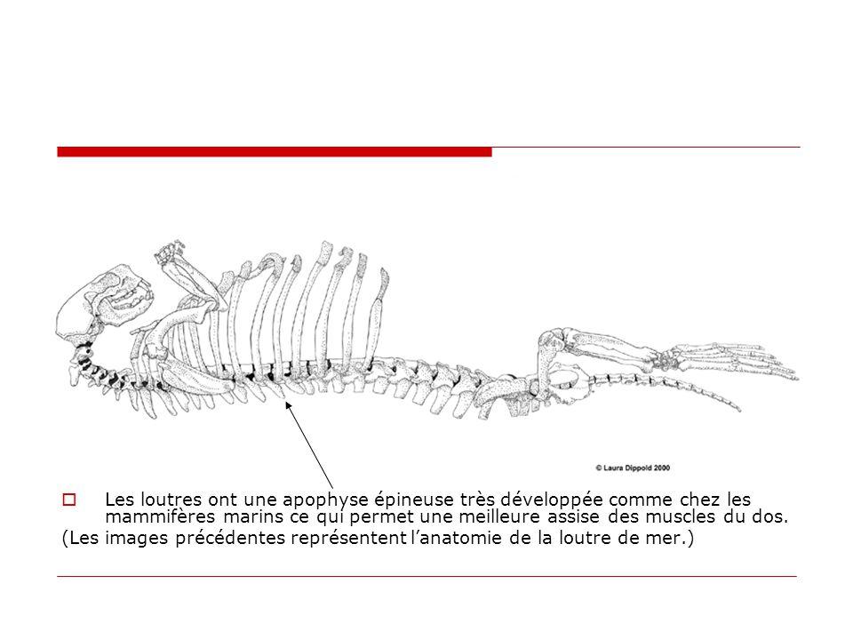 Les loutres ont une apophyse épineuse très développée comme chez les mammifères marins ce qui permet une meilleure assise des muscles du dos.
