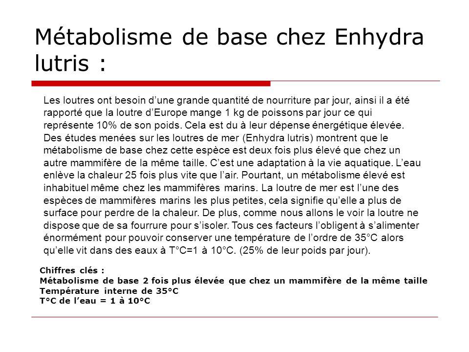 Métabolisme de base chez Enhydra lutris :
