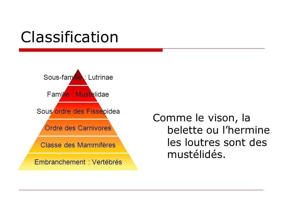 Classification Comme le vison, la belette ou l'hermine les loutres sont des mustélidés.