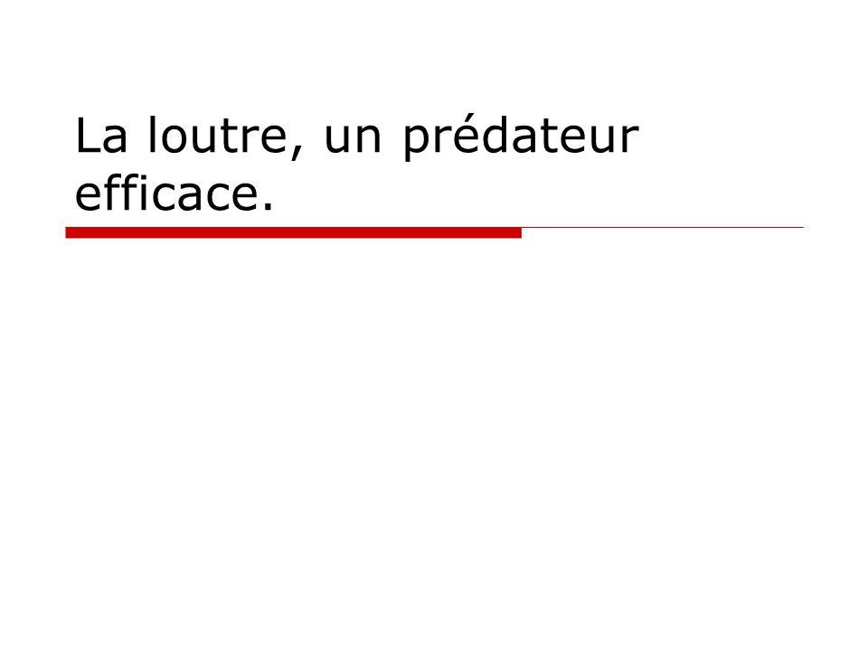 La loutre, un prédateur efficace.