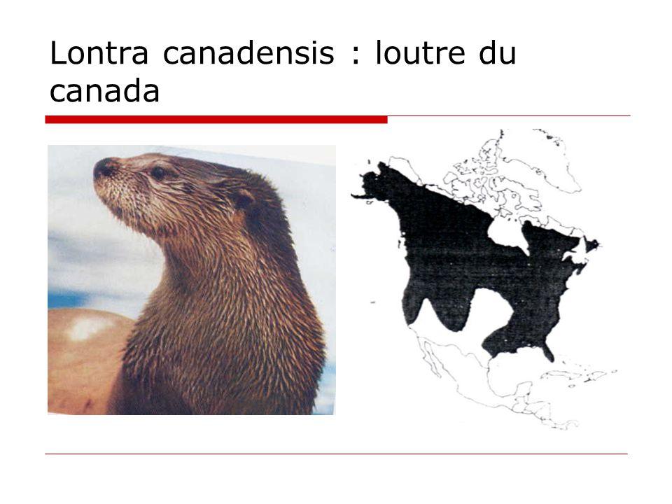Lontra canadensis : loutre du canada