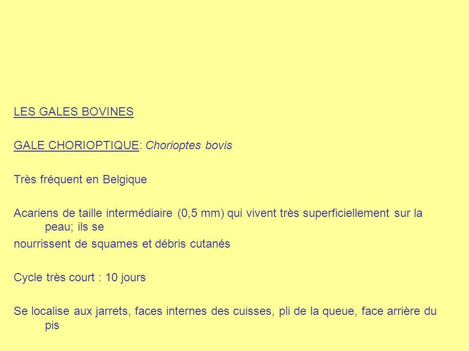 LES GALES BOVINES GALE CHORIOPTIQUE: Chorioptes bovis. Très fréquent en Belgique.