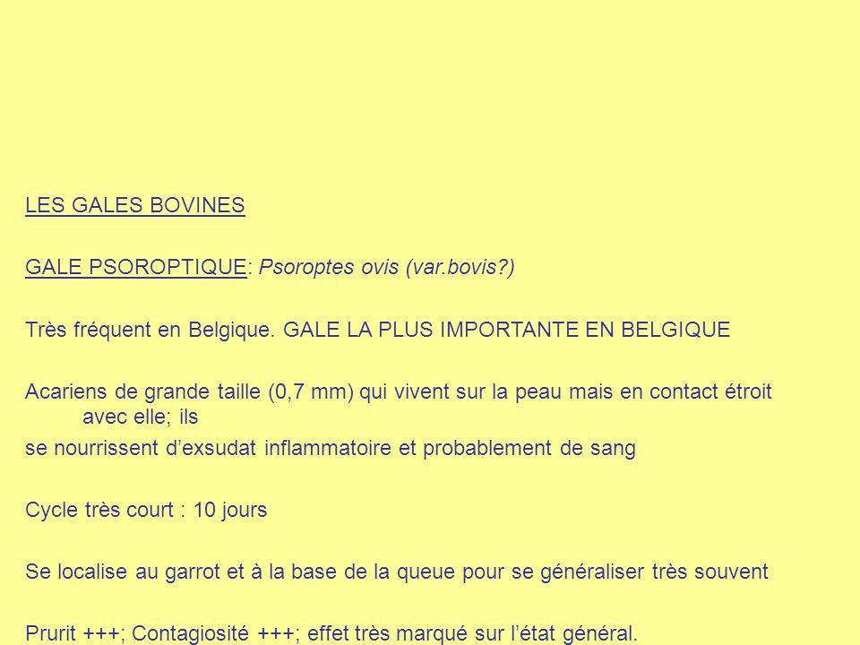 LES GALES BOVINES GALE PSOROPTIQUE: Psoroptes ovis (var.bovis ) Très fréquent en Belgique. GALE LA PLUS IMPORTANTE EN BELGIQUE.