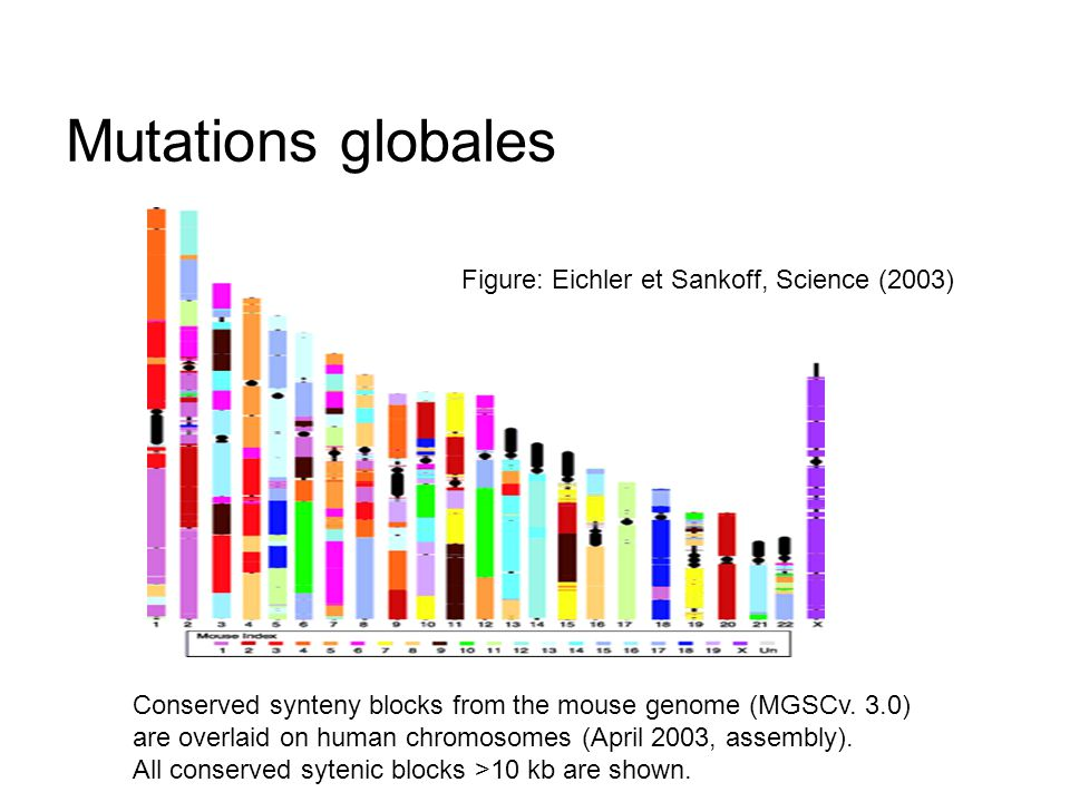 Mutations globales Figure: Eichler et Sankoff, Science (2003)